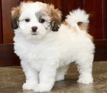 Shichon Teddy Bears